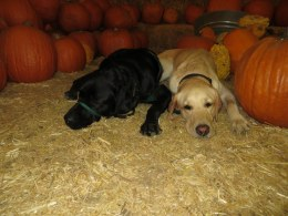 Kelton with Buckley at the pumpkin patch