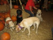 Pumpkin Patch 2015 (7)