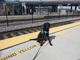 GDB Puppies in Training Travel Day 2016